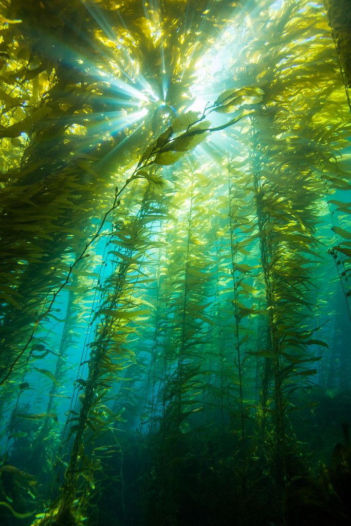 Clear winter water and healthy kelp forests make for a great combination at Anacapa Island, Port Hueneme, California