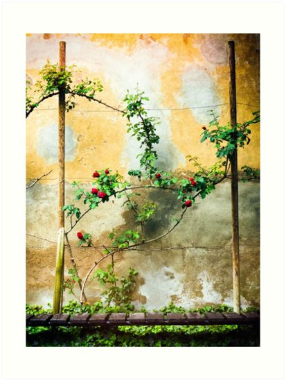 Beautiful rose plant against a decayed wall by Sivia Ganora  •  20% off everything! Use GOFOR20  #roses #decay #colorful #redbubble #discount  #homedecor Also buy this #artwork on wall #prints, apparel, stickers, and more.