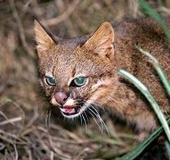Pampas - Their fur ranges in color from white to gray or brown, often with brown or black stripes and spots. Little is known about Pampas cats, but it is believed that they are nocturnal hunters that prey on small mammals and birds.