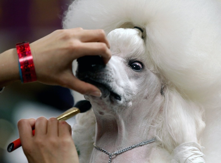 The 2012 Westminster Kennel Club dog show / AP / Craig Ruttle: Club Dogs, Kennels Club, Westminster Kennels, Pet, Standards Poodle, Dogs Show, Poodle Color Pink, Westminster Dogs, Photo