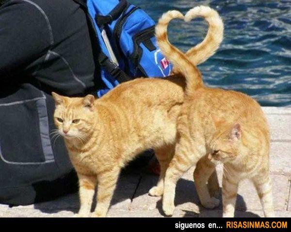 Los gatos en San Valentín.