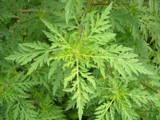 TIMCSI GYÓGYNÖVÉNYKERT: A PARLAGFŰ - Ambrosia artemisifolia