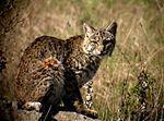 Lynx roux (Lynx rufus), aussi appelé Lynx bai, Bobcat et Chat sauvage en français du Canad.