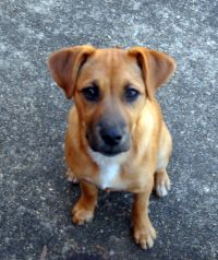 Boxer  German Shepherd Lab Mix picture