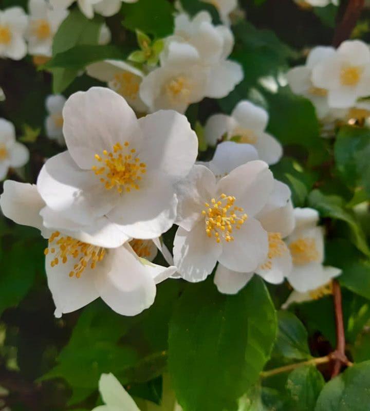 Roze Ogrodowe Podzial Na Grupy I Odmiany Zielony Ogrodek Plants