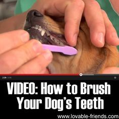 We found another video tutorial to help you on how to brush your dog's teeth. It is very important that we brush our dogs teeth to avoid bacterial infection to spread.
