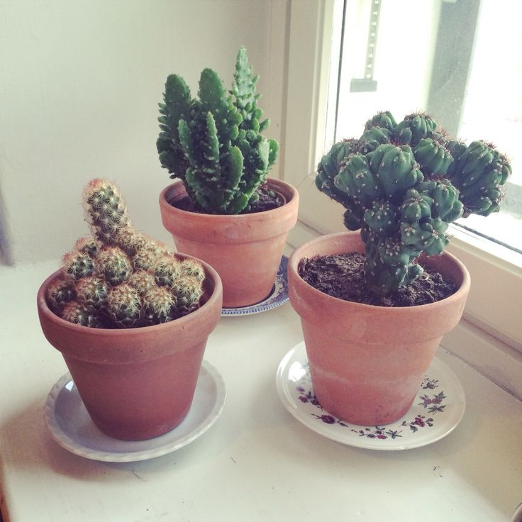 Kaktuksii
