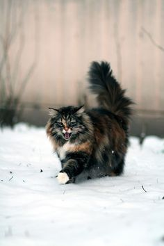 "[Norwegian Forest Cat: "" If yoo don'ts turn yer life into a story, yoo willz justs becomes a part of someone elses' story."""