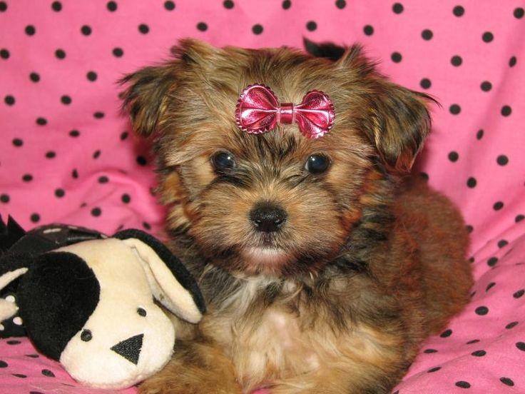 Shorkie puppy (shih tzu/yorkie). Looove!