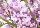 How to Prune Dwarf Lilac Bushes