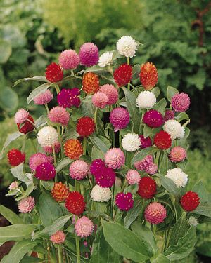 gomphrena - loves heat and tolerates drought. also attracts butterflies.