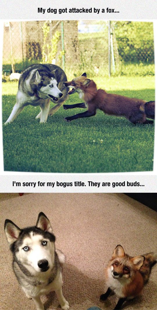 My dog got attacked by a fox: