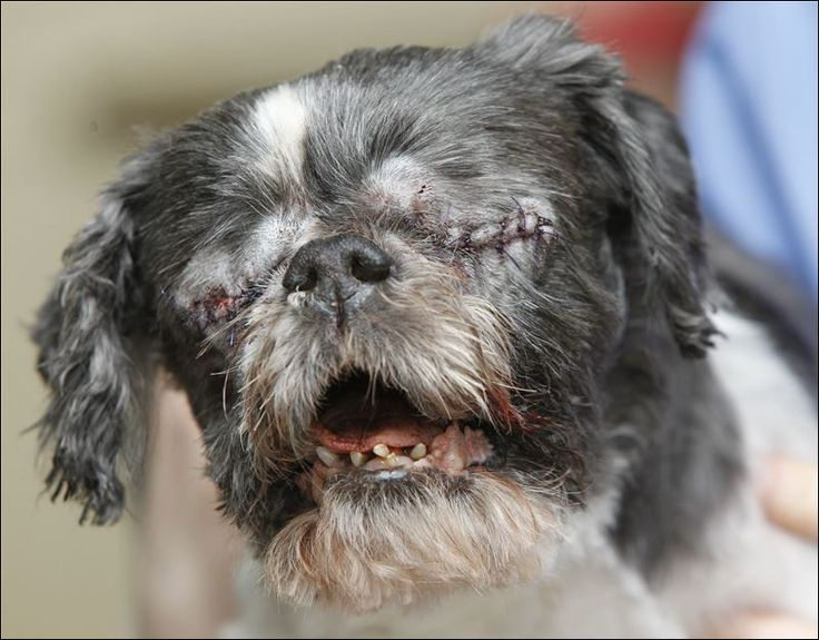 The Shih Tzu Is Also Called The Xi Shi Dog Simply