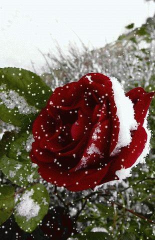 #winter  #rosegifs