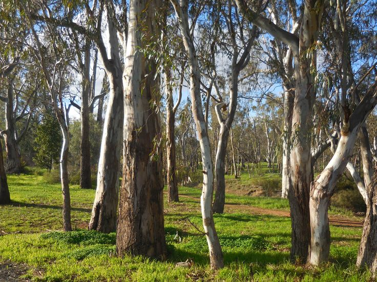 Gum trees along the Campaspe River in Echuca - It's winter and we've had some rain so everything is looking nice and green.