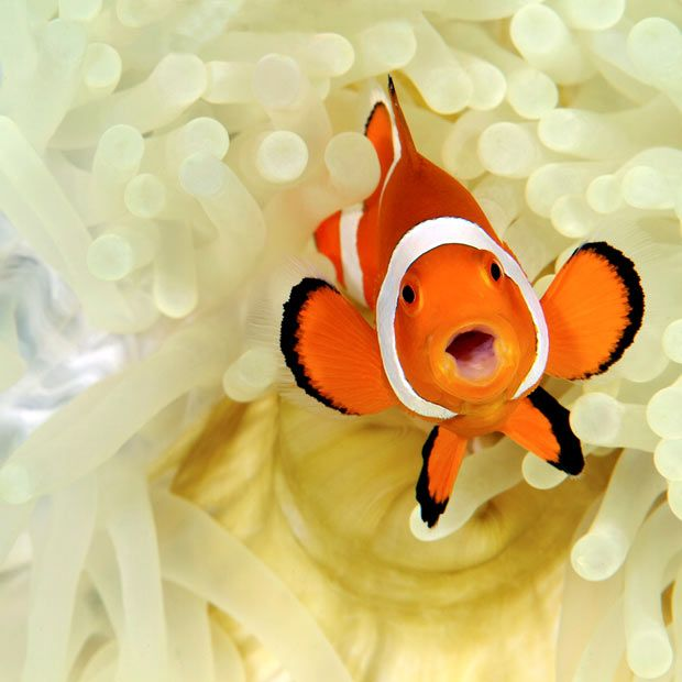 Pictures of the day: Nemo flashes a smile. Snapped in the Philippines, this clownfish living amid the stinging tentacles of a huge sea anemone was photographed by Steve De Neef. The fish pictured here is the dominant female, and shares the anemone with her family.