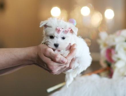 Teacup Maltese, Teacup Maltese for sale, Dogs for sale
