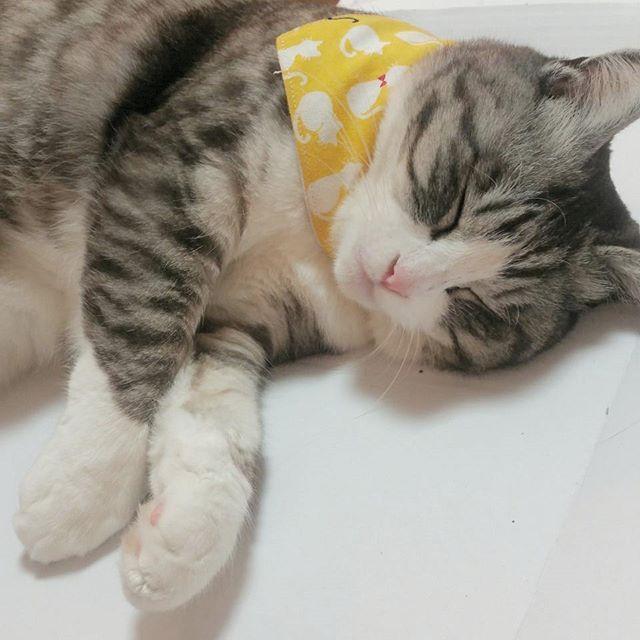 たまのはずっとふて寝中だそぅです😅 最近お祭りにも行けず、留守番も多いから😾💢だと😂 😾 1、2枚目はピザをお持ち帰りした箱が気に入ってしまって爆睡のたまです💤 😾 3枚目はそのピザを買ったお店🍕同期会で美味しいもの食べていっぱいおしゃべりしてきました😉🎶 😾 😾 #猫色祭 #猫胴長祭 #ぺピ友 #pepy#たま#たまの#らぶにゃんるうむ#にゃんとかめら#可愛いだけの猫ちゃいます #愛猫#にゃんすたぐらむ#猫#picneko#みんねこ#ペコねこ部#ふわもこ部もふもふ部#さばしろ#国境なき猫の輪団 #ウェブキャットショー#ウェブキャットショー2 #ピンクのお鼻#癒し