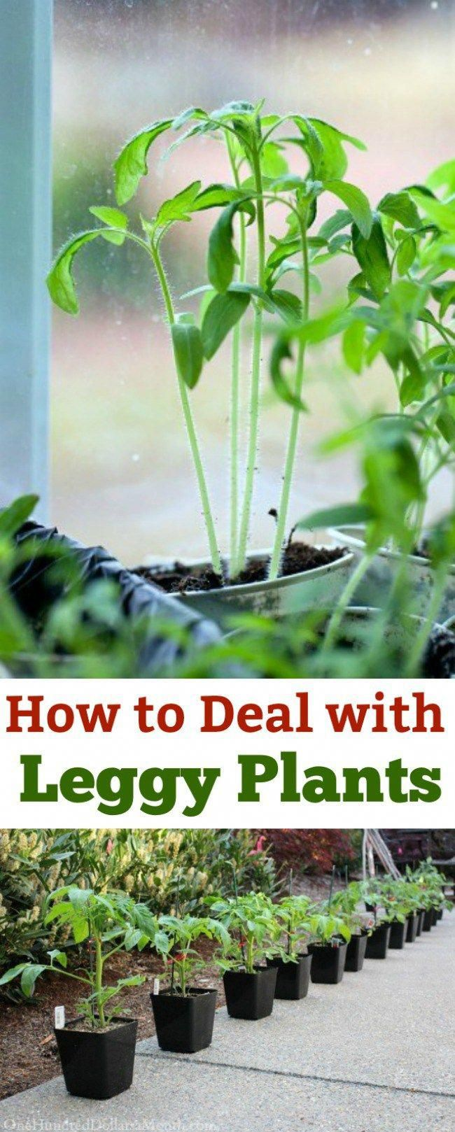How To Deal With Leggy Plants Spindly Seedlings Gardening Tips Seed Starting