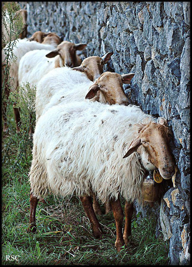 Funny sheep jokes - photo#55