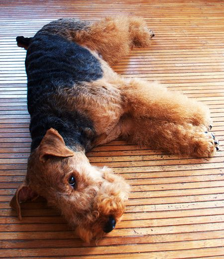 Welsh Terrier Miles Plays Dead. Sort of! milesandemma.com #welsh #welshterrier