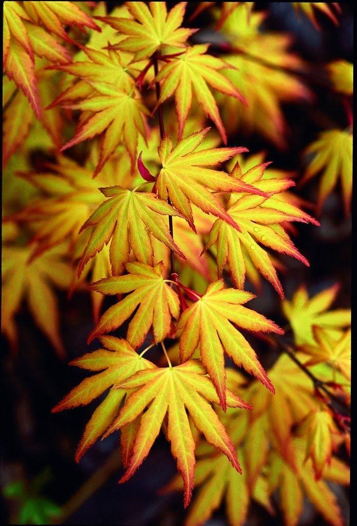 Acer palmatum 'Orange Dream' in spring