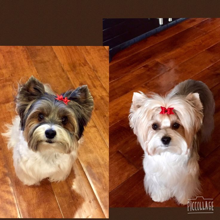 13 Best Images About Biewer Terrier On Pinterest