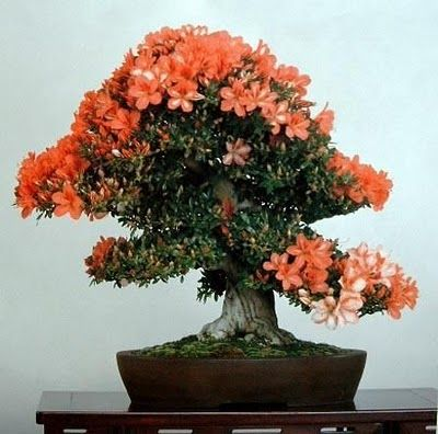 flower bonsai tree | DELIGHTFUL FLOWERING BONSAI TREES ~ Alpin Funny Picture!!