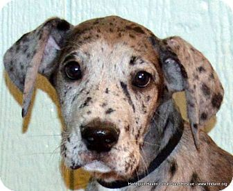 Kane - Great Dane - Male Puppy - Bethel, OH - Harlequin Haven Great Dane Rescue - http://www.hhdane.org http://www.adoptapet.com/pet/10073407-bethel-ohio-great-dane