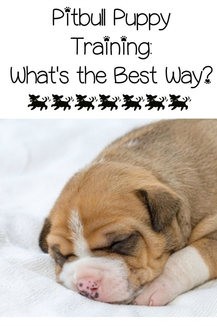 Pitbull Puppy Training Tips What S The Best Way Puppy Training