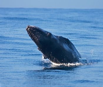 Join the Whale Watching Photo Tour on this epic land and sea adventure as we photograph the breathtaking Humpback Whale watching tour in Hawaii.