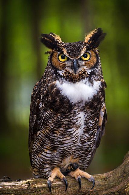 cloudyowl:  Great Horned Owl by Ken Toney