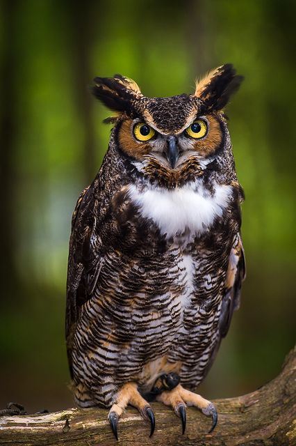 cloudyowl:  Great Horned Owl by Ken Toney