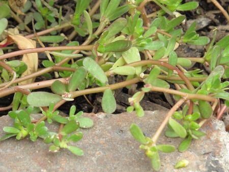 purslane (portulaca oleracea) - groundcover in pottage