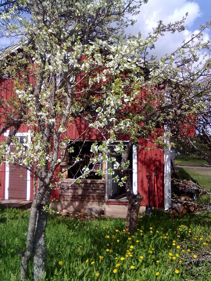 Omenapuu tai oikeastaan luumupuu :) Takana omena