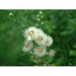 Tisane Vergerette du Canada (Erigeron) plante CT 250 GRS Erigeron Canad
