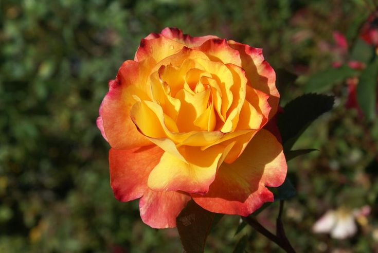 """SOS Children's Rose"" for our children of South Africa on Human Rights Day at 20% off at all Ludwig's Rose Centres."