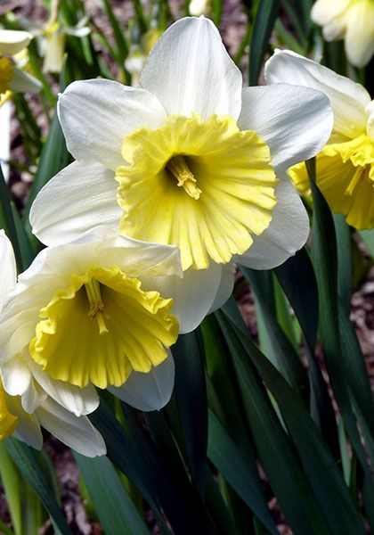 "Daffodil - Old House Gardens Heirloom Bulbs. ICE FOLLIES, 1953. Winner of both the ADS's highest honor, the Wister Award, and the Royal Horticultural Society's AGM for ""outstanding excellence,"" this popular daffodil opens with a broad, ruffled, yellow cup that matures to almost white. Tough enough to naturalize along a highway. 2 W-W, 20-24"", early-mid season, zones 4a-8b(10bWC), from Holland.DA953 Add to basket: 5/$10.50 10/$20 25/$45 50/$85 100/$156"