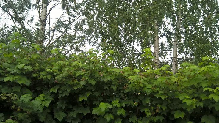 Tuoksuvatukka - pensasaita