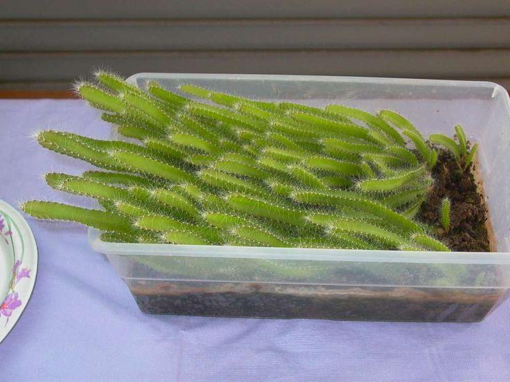 Grow dragon fruit cactus from seeds
