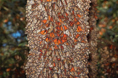 Santuarios de la Mariposa Monarca, en Estado de México y Michoacán