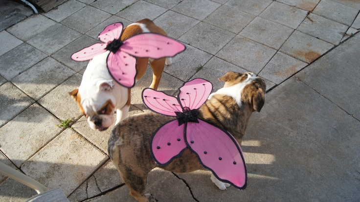 My female bulldog puppies, we call them piggies, with wings for Halloween.