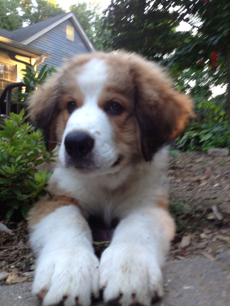 Great Bernese Dog Pictures to Pin on Pinterest - PinsDaddy