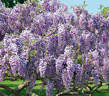 Tree Wisteria CarolineStandard Form Want for my front yard!Gardens Ideas, Flower Pictures, Trees Wisteria, Back Yards, Growing Up, Beautiful Plants, Flower Farms, Wisteria Caroline, Wisteria Trees