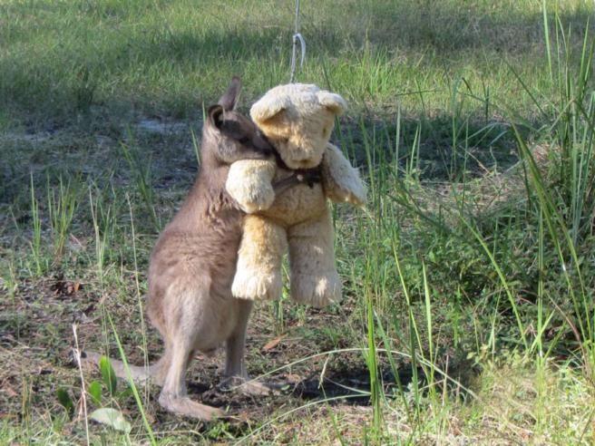 Australia, Un piccolo canguro, rimasto senza la mamma, abbraccia un orsacchiotto di peluche