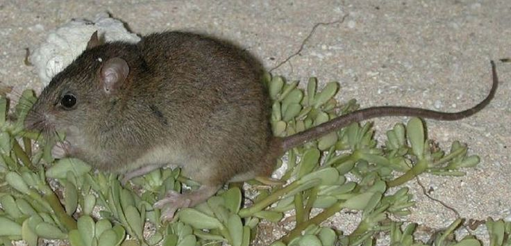 Australian mammal: 1st to go extinct due to climate change - SFGate