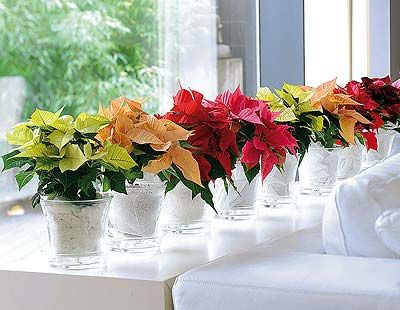 Poinsettia.  (Love the mix of colors with the clear/white containers. BMD)