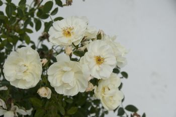 R. 'Elegant Pearl' (Kw) Grote trossen roomwitte bloemetjes en helder groen blad tooien dit fraaie, rijk bloeiende, lage struikje.