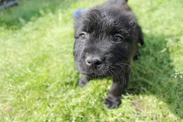 Labrador Retriever Dog For Adoption In Albany Ga Adn 810356 On