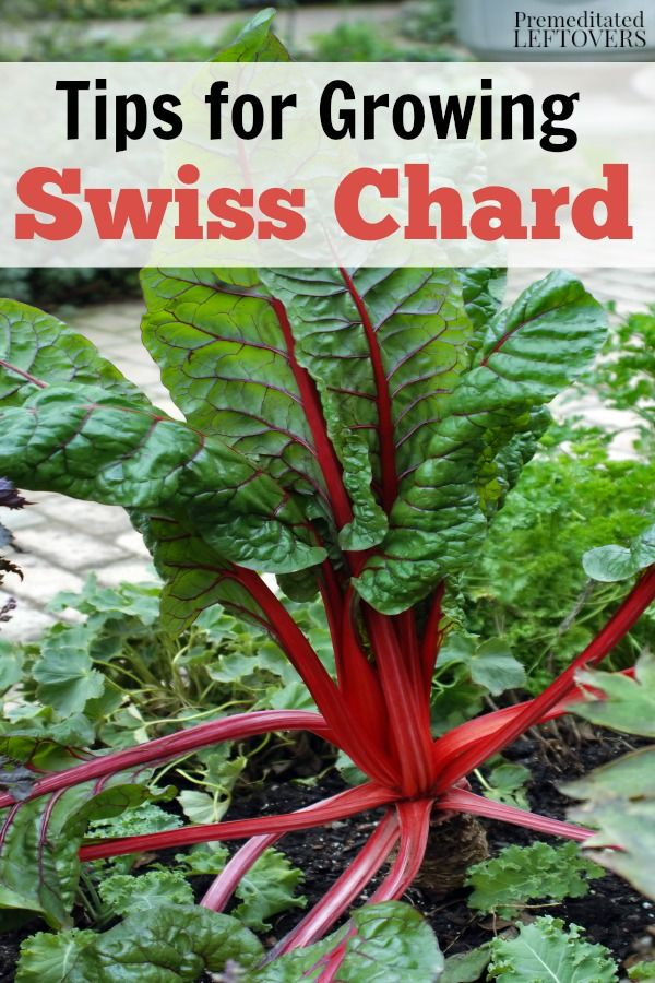 Tips for Growing Swiss Chard in Your Garden - How to grow Swiss Chard from seed, how to transplant Swiss chard sprouts, when to harvest Swiss chard plants, and more gardening tips.